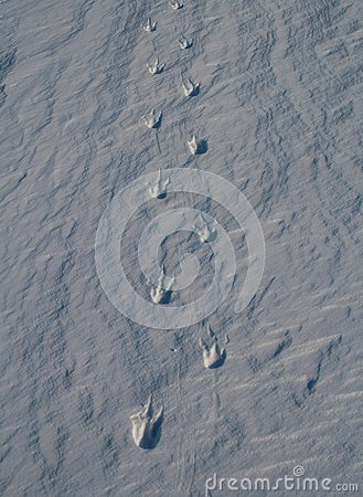 Free Footprints Covered With Snow, The Imperial Penguin. Snowy Landscape Stock Photo - 129466390