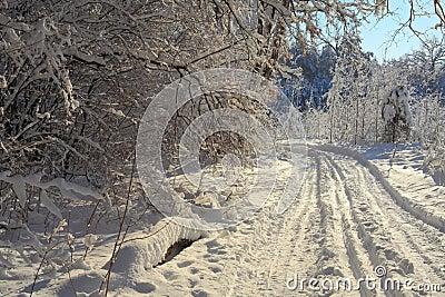 Forêt de l hiver