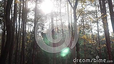 Forêt de pins avec soleil dans un matin vif, les rayons du soleil jouent dans les branches des arbres Paysage nature ensoleillé e banque de vidéos