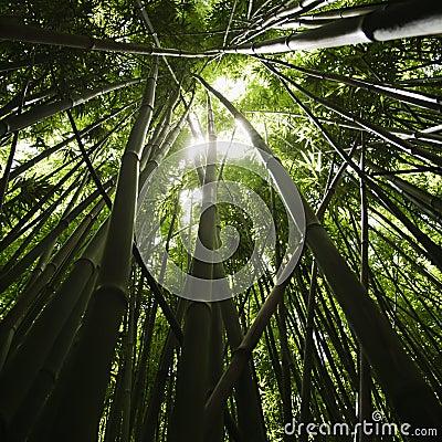 Forêt en bambou.