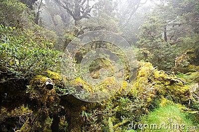 Forêt humide brumeuse