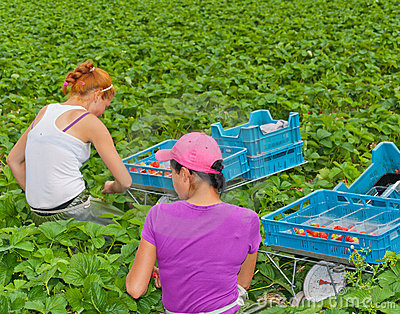 Foreign seasonal workers picking strawberries Editorial Stock Image