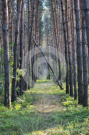 Forest alley