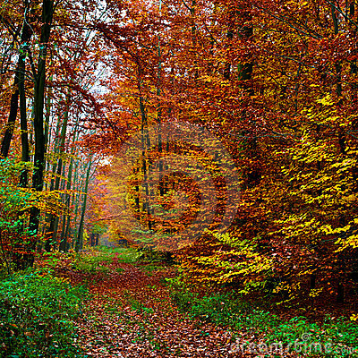 Free Forest Background In Autumn 03 Royalty Free Stock Photography - 5551297