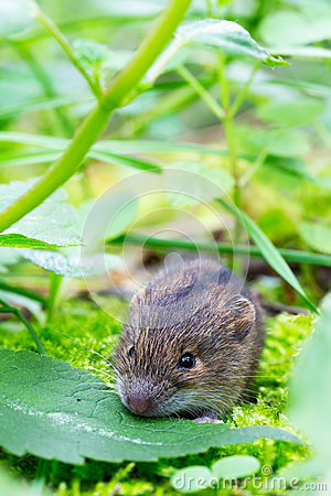Free Forest Birch Mouse Royalty Free Stock Photos - 93496678
