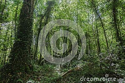 Forest Tress Vegetation