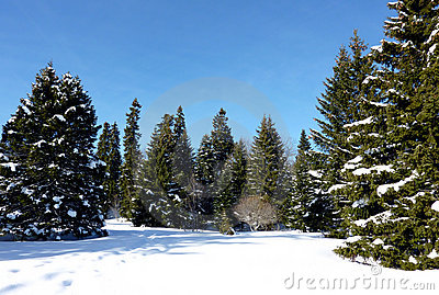 Forest of firtree by winter