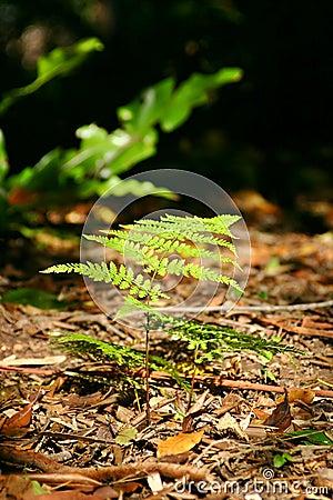 Forest Floor Fern