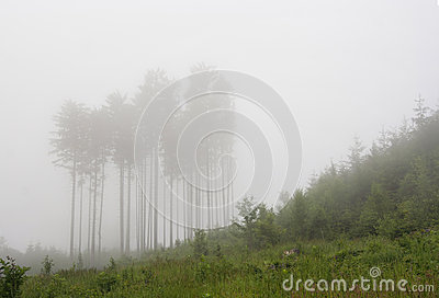 Forest in a fog