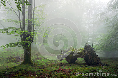 Forest with fog and dead trunk