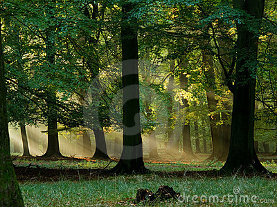 Forest with fog and warm sunshine