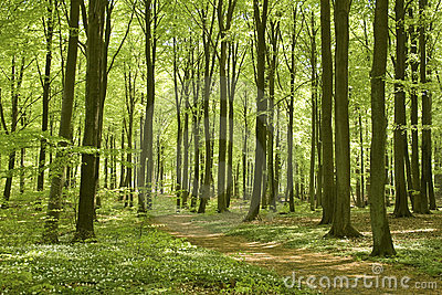Forest footpath in spring
