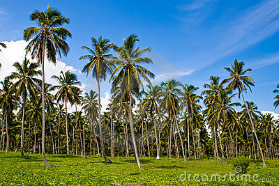 Forest of green palms under blue sky