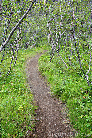 Forest in Iceland