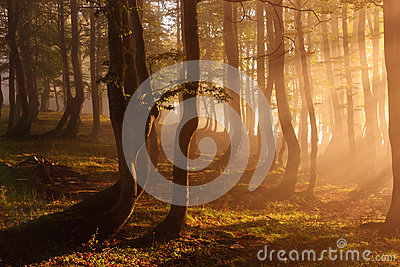 Forest illuminated by sunlight in the foggy morning