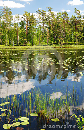 Forest lake in summer Scandinavia