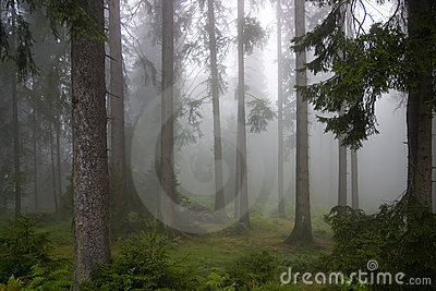 Forest in the mists