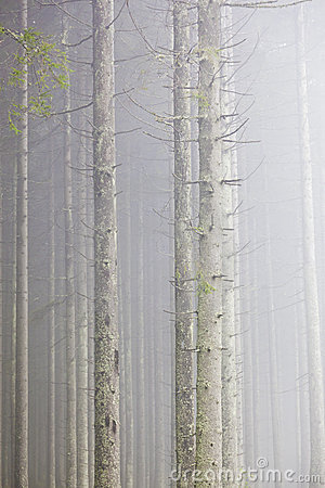 Forest with morning mist
