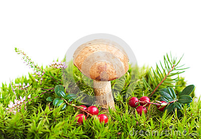 Forest mushroom in moss