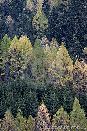 Free Forest Of Spruces And Larches In Spring Royalty Free Stock Image - 9882546