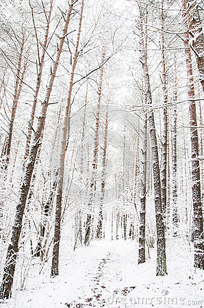 Free Forest Path In The Winter Royalty Free Stock Photography - 42163687