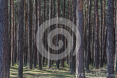Forest of pine trees Stock Photo