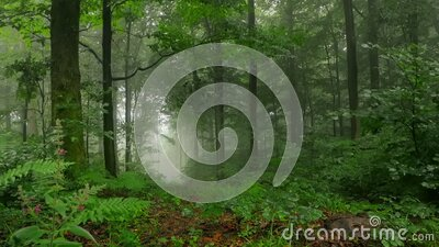Forest scene time lapse with wafts of mist stock video