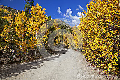 Forest Service road lined with Aspen Trees