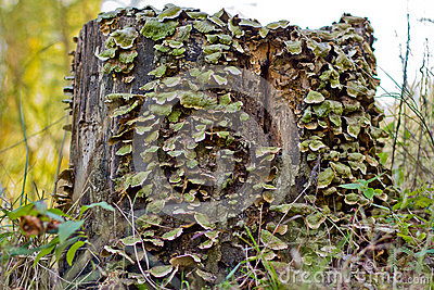 Forest Tree Stump in Decay