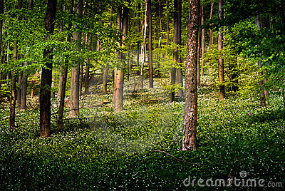Forest with wild garlic flowers