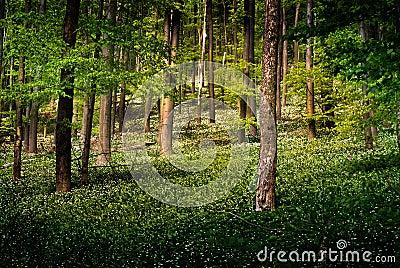 Forest with wild garlic flowers