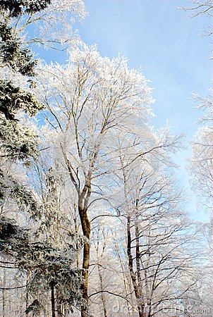 Forest at Winter Time