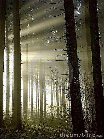Free Forest With Sun Rays Through The Trees Stock Image - 8388541