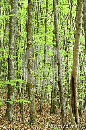 Vista in un legno degli alberi a foglie caduche. gambi del brown
