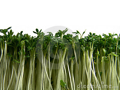 Foresta del crescione