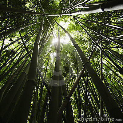 Foresta di bambù.