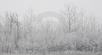 Forested Shoreline in Winter Fog