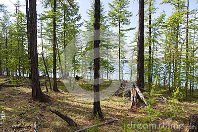 Forests in front of Khovsgol Lake