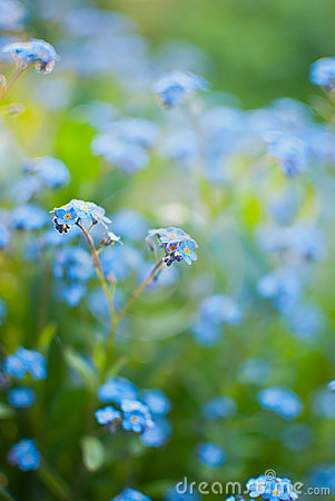 Free Forget-me-not Stock Photo - 24210580