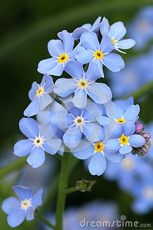 Free Forget-me-not Royalty Free Stock Images - 46217769