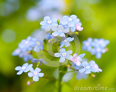 The forget-me-not blossoms