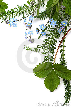 Free Forget-me-not (floral Ornament Royalty Free Stock Photography - 2445597