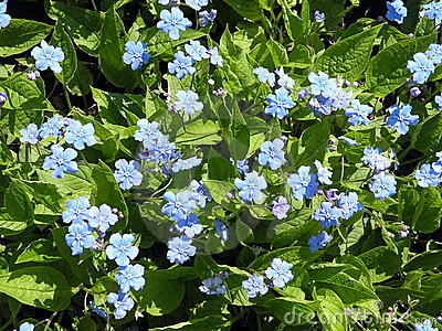 Picture Forget  Flower on Forget Me Not Flower Royalty Free Stock Photography   Image  14269147