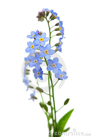 Free Forget-me-not Flower On White Stock Image - 14356491