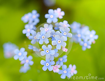 The forget me-not flowers