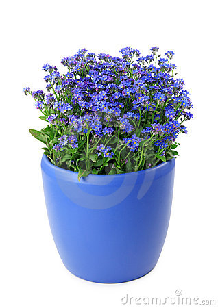 Forget-me-not flowers in pot