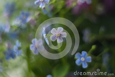 Forget-me-not wildflowers Stock Photo
