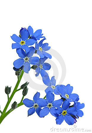 Free Forget-me-nots Stock Photos - 4859143