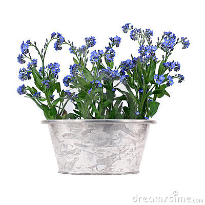 Forget-me-nots in metal pot