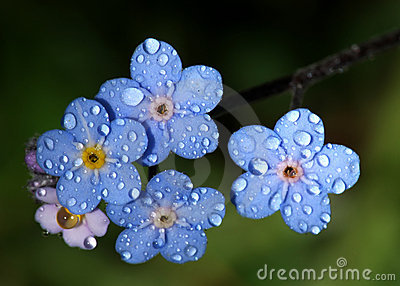 Forget-Me-Nots with Raindrops